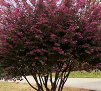 ZhuZhou Loropetalum - Chinese Fringe Tree