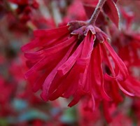 Ever Red Sunset Loropetalum