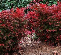 Shop Gulf Stream Nandina - 2.5 Quart