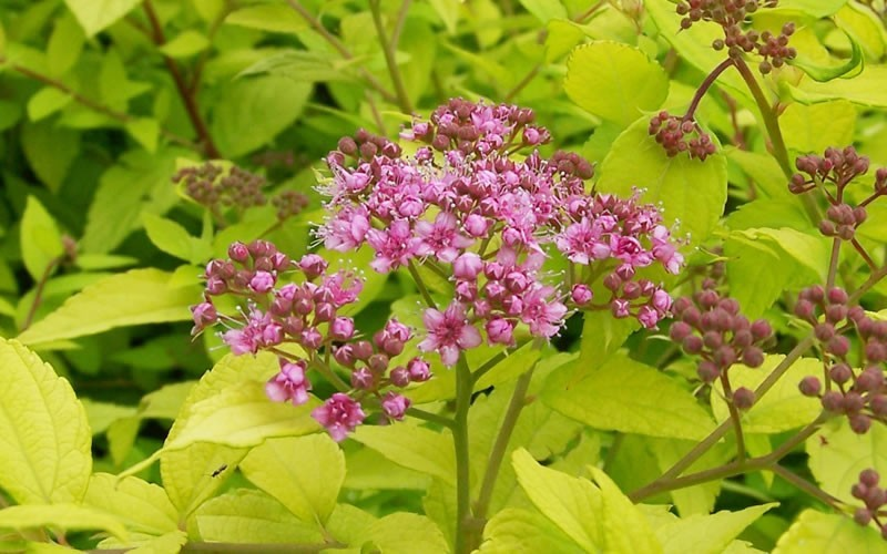 Gold Mound Spirea - Spiraea japonica 'Gold Mound' - 1 Gallon - Flowering Shrubs | ToGoGarden