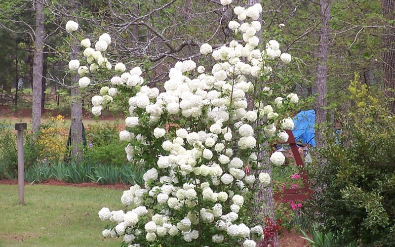 Chinese Snowball Viburnum Photo 2