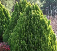 Berkmans Golden Arborvitae - Thuja orientalis 'Berkmans Golden'