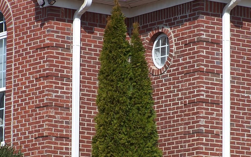 Emerald Green Arborvitae Photo 2