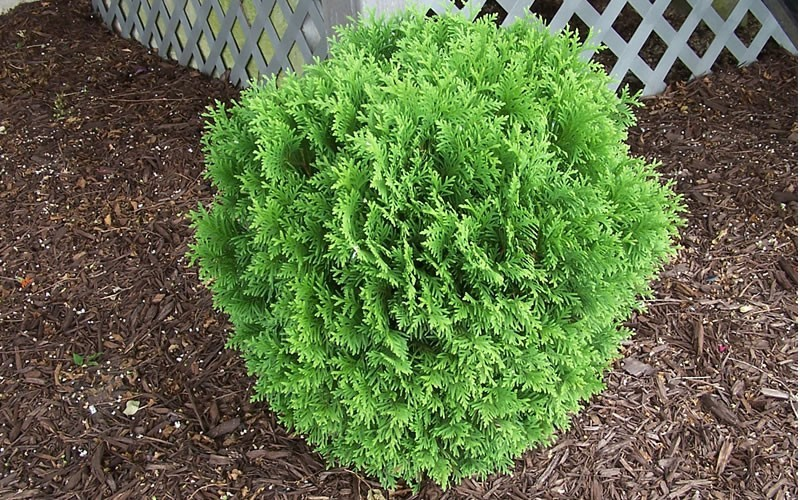 Global Arborvitae - Thuja occidentalis 'Woodwardii' Photo 2