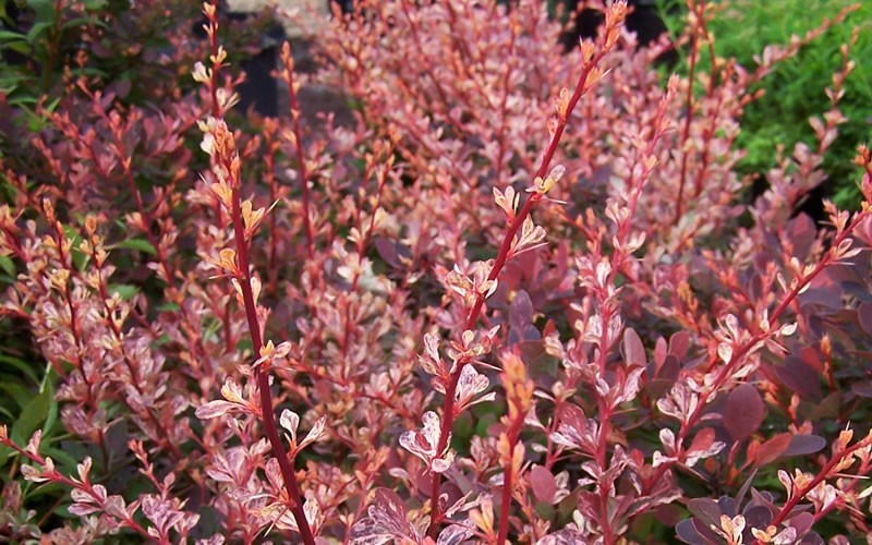 Rosy Glow Barberry - Berberis thunbergii 'Rose Glow / Rosy Glow ' - 1 Gallon - Barberry Shrubs | ToGoGarden