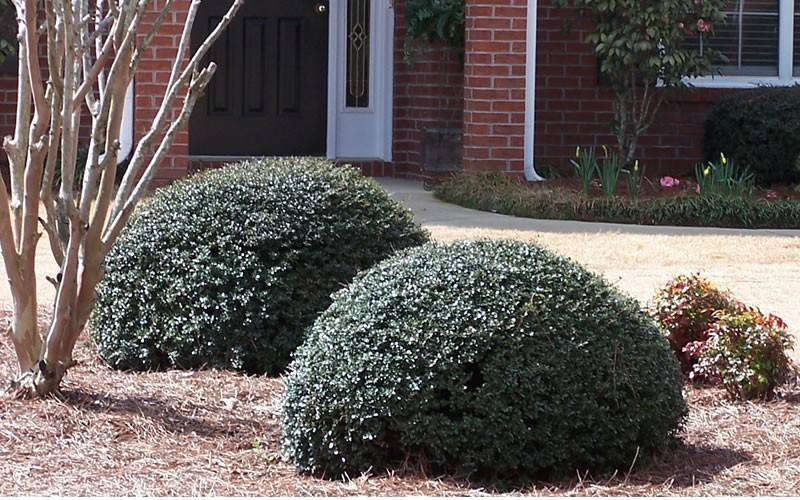 Bordeaux Dwarf Yaupon Holly - 2.5 Quart - Deer Resistant Shrubs | ToGoGarden