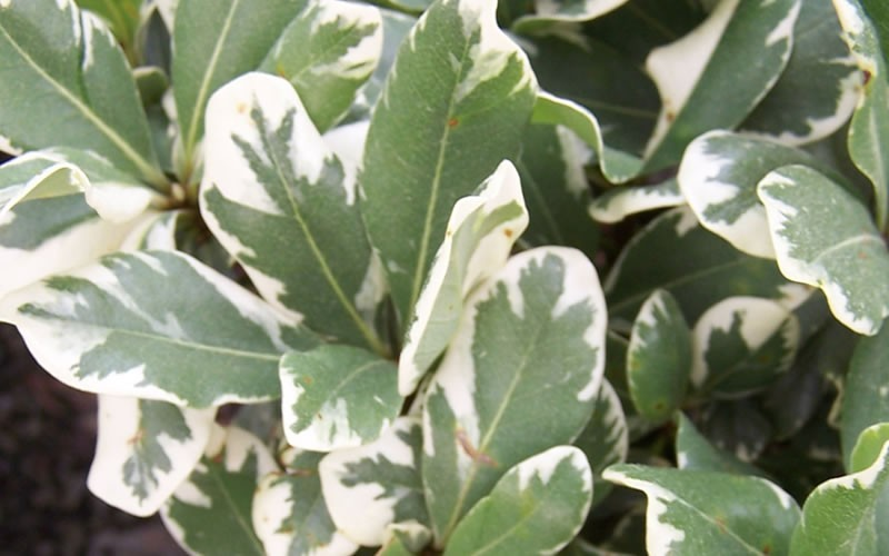 Variegated Pittosporum Photo 3