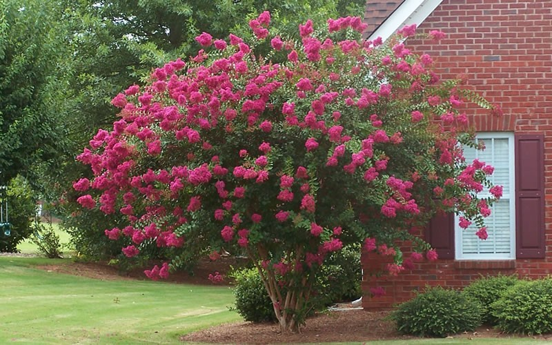 Tuscarora Crape Myrtle Photo 1