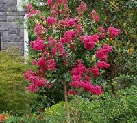 Shop Tonto Crape Myrtle - 3 Gallon