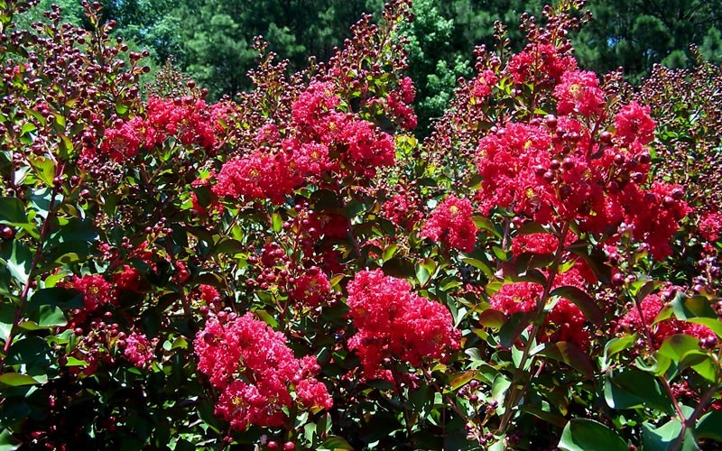 Tonto Crape Myrtle - 3 Gallon - Flowering Trees | ToGoGarden