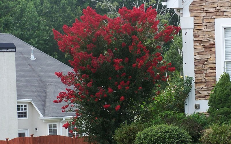 Dynamite Crape Myrtle - Lagerstroemia indica 'Dynamite' - 3 Gallon - Single Trunk - Flowering Trees | ToGoGarden