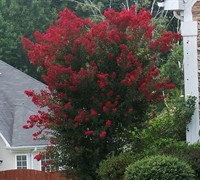 Dynamite Crape Myrtle - Lagerstroemia indica 'Dynamite'