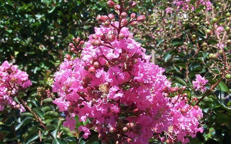 Sioux Crape Myrtle - Lagerstroemia indica x fauriei 'Soiux' Photo 3