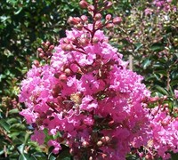 Sioux Crape Myrtle - Lagerstroemia indica x fauriei 'Soiux'