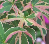 Shop Butterfly Japanese Maple - 3 Gallon
