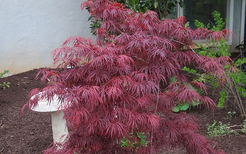 Crimson Queen Japanese Maple 2 Gallon Tree Japanese Maples