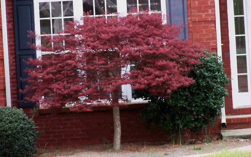 Crimson Queen Japanese Maple  Photo 2