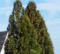 Shop Yoshino Cryptomeria - 3 Gallon