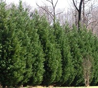 Shop Leyland Cypress  - 2.5 Quart