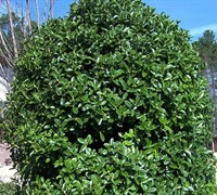 Shop Oakleaf Holly - 3 Gallon