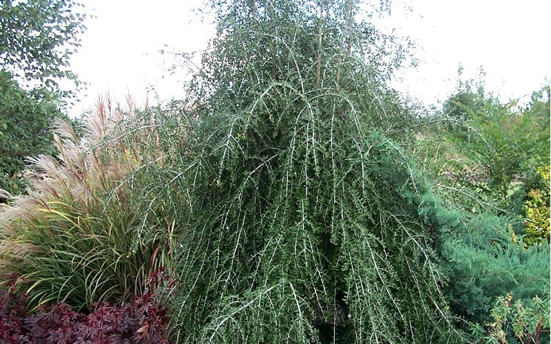 Weeping Yaupon Holly - Ilex vomitoria 'Pendula'