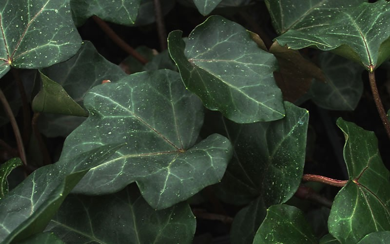 English Ivy Photo 2