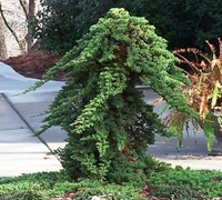 Green Mound Juniper - Japanese Garden Juniper