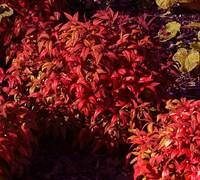 Shop Firepower Dwarf Nandina - 2.5 Quart