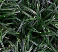 "Shop Dwarf Mondo Grass - 18 Count Flat of 3.5"" Pots"