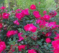 Original Red Knock Out Rose