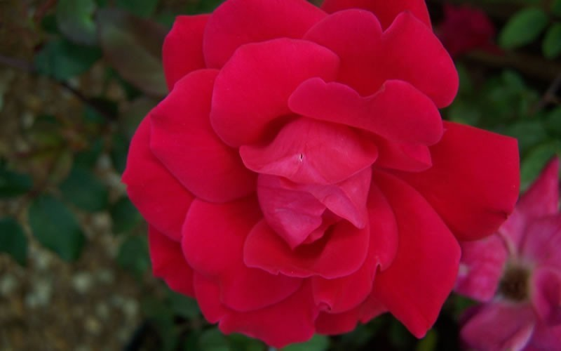 Double Knock Out Red Rose
