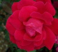 Shop Double Knock Out Red Rose - 1 Gallon