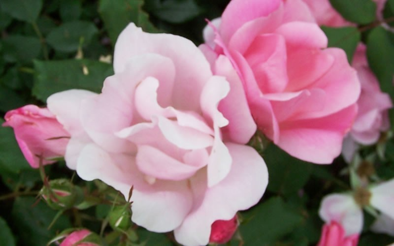 Blushing Knock Out Rose - 1 Gallon - Knock Out Roses | ToGoGarden