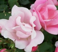 Blushing Knock Out Rose