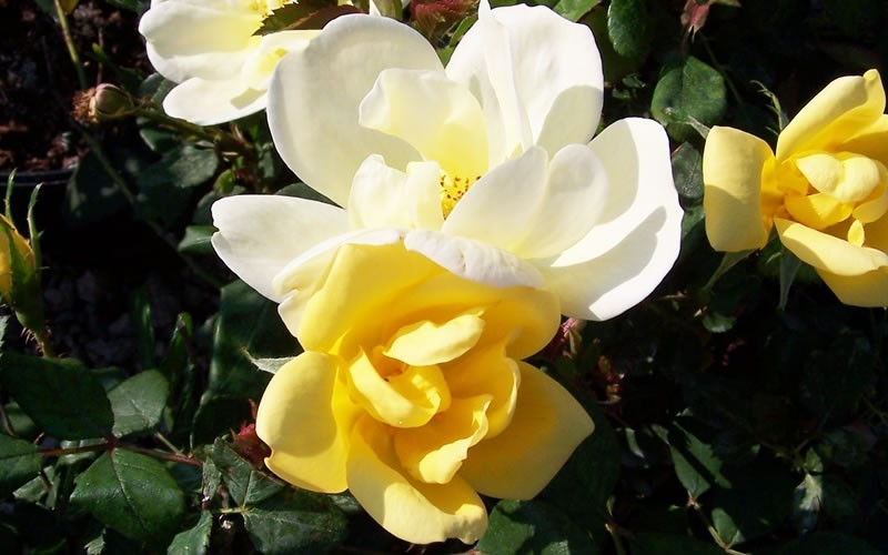 Sunny Knock Out Yellow Rose