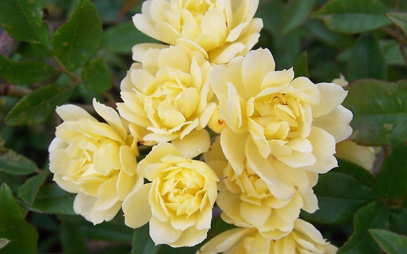 Lady Banks Yellow Rose Photo 3