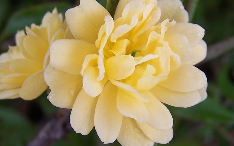 Lady Banks Yellow Rose Photo 4