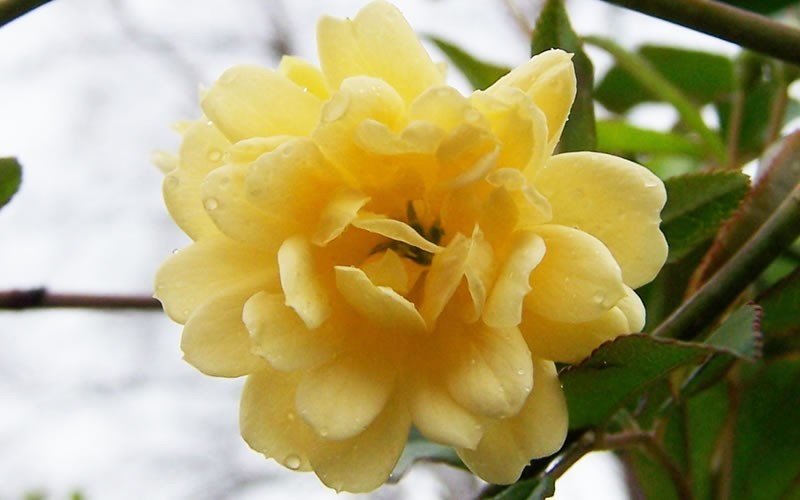 Lady Banks Yellow Rose Photo 6