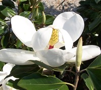 Shop Little Gem Dwarf Southern Magnolia - 7 Gallon