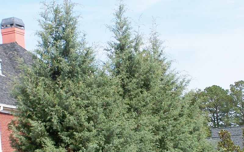 Carolina Sapphire Cypress - 3 Gallon - Evergreen Trees | ToGoGarden