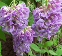 Shop Amethyst Falls Wisteria - 3 Gallon