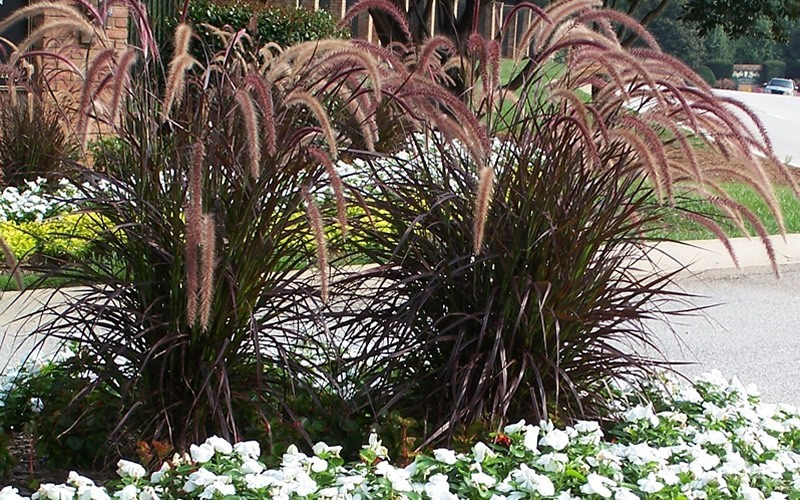 Rubrum Purple Fountain Grass Photo 2