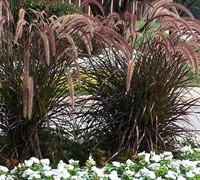 Rubrum Purple Fountain Grass
