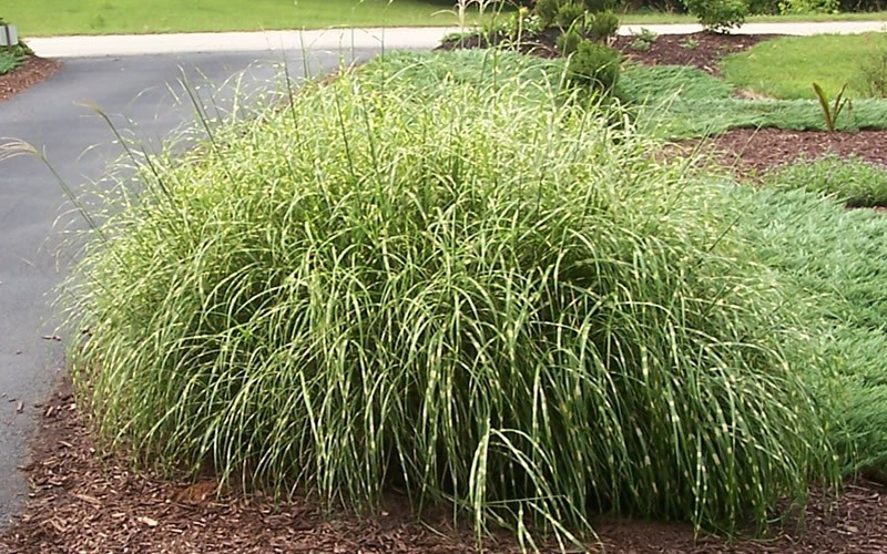 Buy little zebra grass miscanthus sinensis 39 little zebra for Landscaping with zebra grass