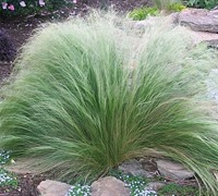 Pony Tails Grass / Mexican Feather Grass