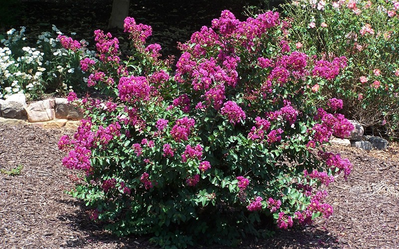 Velma's Royal Delight Crape Myrtle