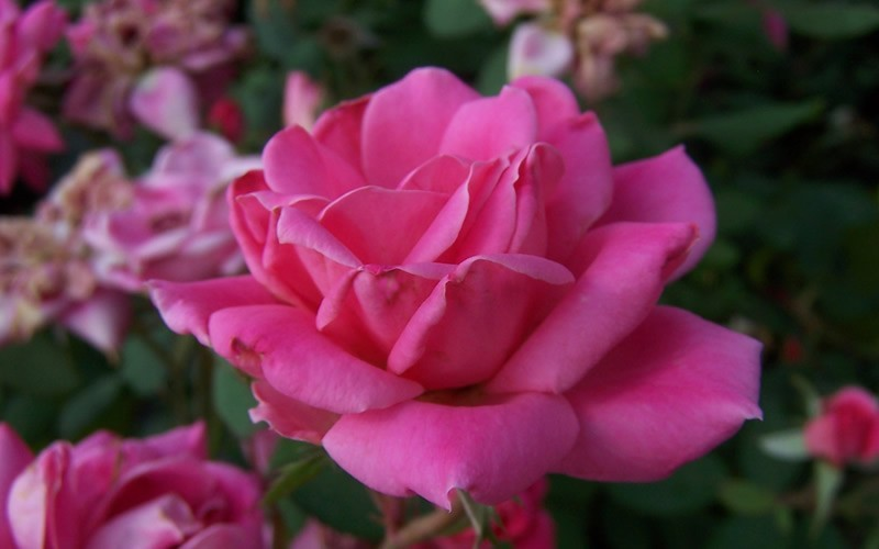 Double Pink Knock Out Rose - 1 Gallon - Shrubs for Spring Color | ToGoGarden