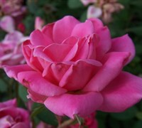 Shop Double Pink Knock Out Rose - 1 Gallon