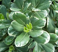 Shop Variegated Pittosporum - 3 Gallon