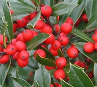 Fosteri Holly No. 2 -  Ilex attenuata